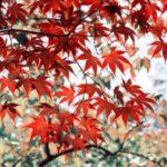 japanese-red-maple-blary54-fot.sxc-hu